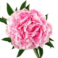 Paeonia Sarah Bernhardt Pfingstrose Blume Pink Rosa Staude Wurzel 1/5/10 St.