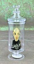 K26 Taxidermy Real Bat skull Mount witchcraft macabre voodoo halloween display