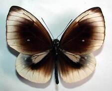 EUPLOEA LEUCOSTICTOS FRIGIDA - unmounted butterfly
