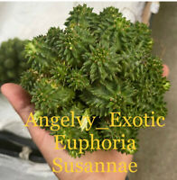 Euphoria Susannae 6'' pot   Ship bare Root