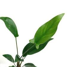 New listing 🌱� Striking Anubias Hastifolia Bare Root Buy2 Get1 Free