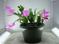 Thanksgiving Cactus LAVENDER Schlumbergera truncata One Year Old Plant bare root