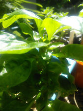 Brazilian Spinach Sissoo Plants : Organic Permaculture Perennial Raw Edible Food