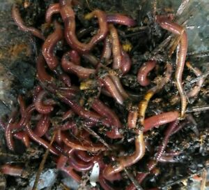 25+ Medium to Large Live Red Wiggler Worms.Great For Composting&Your Pet&Fishing