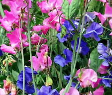 SWEET PEA ROYAL FAMILY MIXED COLORS Lathyrus Odoratus - 110 Bulk Seeds