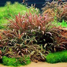 3 Stems hygrophila pinnatifida Live aquarium plants beautiful! Free S/H Rare!