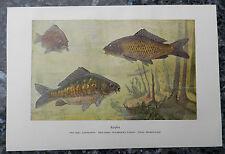 Karpfen Cyprinus carpio  Spiegelkarpfen Lederkarpfen Fisch angeln Farbdruck 1918