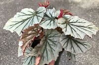 "Begonia - Angel Wing - Looking Glass - 6""+ starter plants"