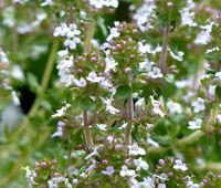 THYME Thymus Vulgaris - 5,000 Bulk Seeds