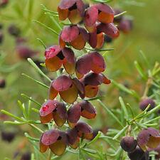 Boronia megastigma Brown Boronia perfumed flowers native plant in 50mm pot