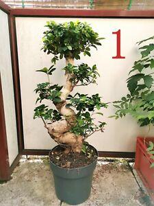 Bonsai Ficus Ginseng aus D - kein China-Import!!! (Höhe ca. 65cm)