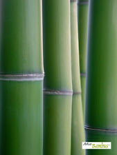 Riesenbambus Phyllostachys Moso - Pflanzen, Sämlinge, Samen und Sets zur Anzucht