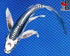 "New listing 5"" Butterfly Tuxedo Kikokuryu Live Koi Fish Pond Garden Bkd"