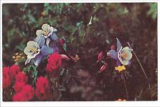 COLUMBINE AQUILEGIA COERULIA State Flower Blue White Yellow COLORADO Postcard CO