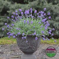 USA HEIRLOOM Organic French Perfume Lavender 100-800 seeds