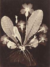 VINTAGE PHOTOGRAPHY 19TH CENTURY BOTANICAL PHOTOGRAM (2) ARTWORK PRINT BB4993A