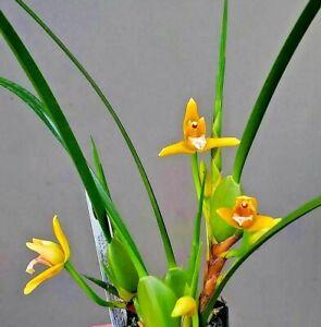 Fragrant! ~ Orchid ~ Maxillaria Tenuifolia 'Yamada' (Yellow) ~ Bloom Size