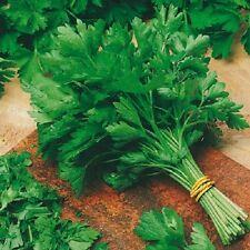 2g (app.1500) giant italian parsley seeds GIGANTE D ITALIA strong taste Fragrant