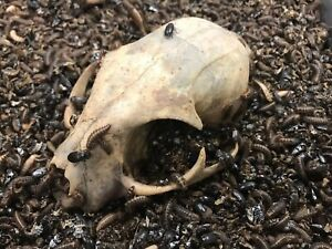 Bone Yard Beetle Works™ Dermestid Colony - 1 oz. (qty. 600+)