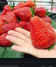 RARE GIANT STRAWBERRY Fruit Tree 20  SEEDS - Combined Shipping (USA seller )