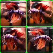 New listing Live Betta Fish Fancy Monster Nemo Halfmoon Hm Male A876