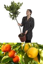 Citrus Tree Pair Large 3-4ft Fresh Orange & Lemon Trees with Pots and Feed 1.2m