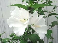 HIBISCUS syriacus Diana white 10 seeds