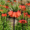 GX- 100Pcs Fritillaria Imperialis Seeds Bonsai Plant Flower Garden Balcony Decor