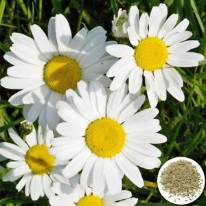 50 English Daisy Seeds Chrysanthemum Flowers UK Giant Hardy Perennial Plants