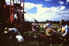 "original 35mm SLIDE HART LAKE FL. CELERY PACKERS 1952 FARM ""SUNDOWNERS"""