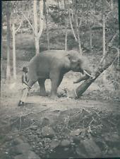 Ceylon, Éléphant débroussaillant une clarière, ca.1900, vintage silver print Vin