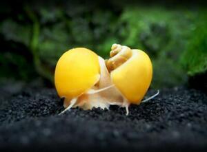 2x Mystery Golden Snail Java Tropical Snails Aquatic Algae Eater Fish Tank