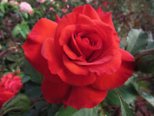 BEST DAD - 4lt Potted Hybrid Tea Garden Bush Rose, Bright Coral Red, Ideal Gift