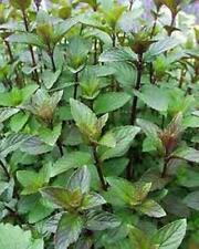 Chocolate Mint aromatic herb plant bees butterflies ground cover 9cm pot