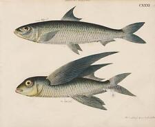 1820 Friedrich Strack Genuine Original Antique Fish Print True Flying Fish