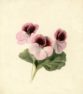 C.R., Pink Geranium Flower – Original early 19th-century watercolour painting