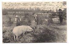 la récolte de la truffe en périgord  la truffe est trouvée