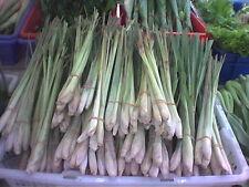 LEMON GRASS ( cymbopogon ciatrus ) 250 seeds