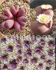 Lithops Optica 'Rubra' -10seeds- Popular Red Colour Living Stone Plants Rare
