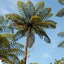 Cyathea Medullaris - 50 Spores / Seeds - Black Tree Fern - Cold Hardy