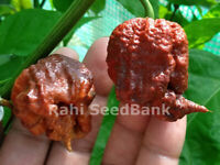 Carolina Reaper Chocolate Chilli - Australian Grown Seeds, Not Imported!!!