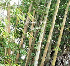 Dendrocalamus strictus 10 seeds Exotic Calcutta Clump Type Bamboo