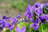Schöne Blumen, ein Farbenmeer im Garten: die wohlriechenden Duftveilchen