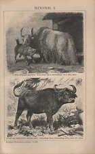 Lithografie 1903: RINDER. I/II. Yack Kap-Kaffernbüffel Anoa Amerikanisches Bison
