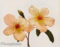 1980 Vintage IRVING PENN Botanical FLOWER ROSE Photo Engraving Fine Art 12X16