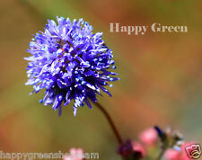 BLUEHEAD GILIA - 1000 SEEDS - Gilia Capitata - ANNUAL FLOWER