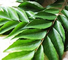 Fresh Curry Leaves (30 - 50g) , ORGANIC NATURAL LEAVES - (Free UK Post )
