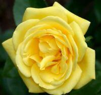 20 graines de Rosier Grimpant Jaune - 20x Climbing Yellow Rose rosebush seeds