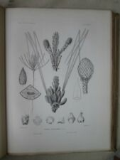 Vintage Print,Pl 570,DIGGER,BULL PINE, Silva,Trees,1st Ed.c1900