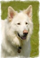 White German Shepherd Dog A6 Blank Card By Starprint